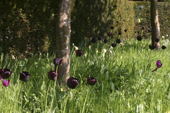 Tulipa Queen of Night plants for Scottish gardens